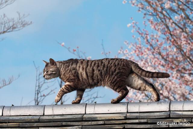 岩合光昭さん「ねこの京都」、春の京都の猫