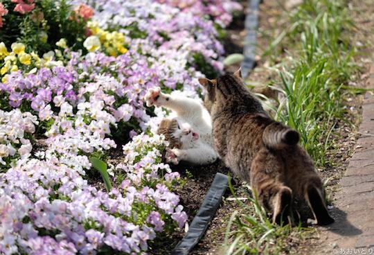 あおいとり氏のネコ写真作品、喧嘩する猫