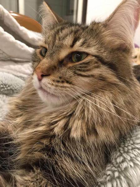 猫カフェmof.mof(モフモフ)にいるメインクーンの雅