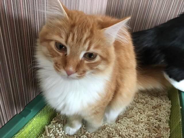猫カフェmof.mof(モフモフ)にいるメインクーンの翠