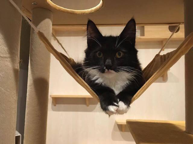 猫カフェmof.mof(モフモフ)にいるメインクーンの菫