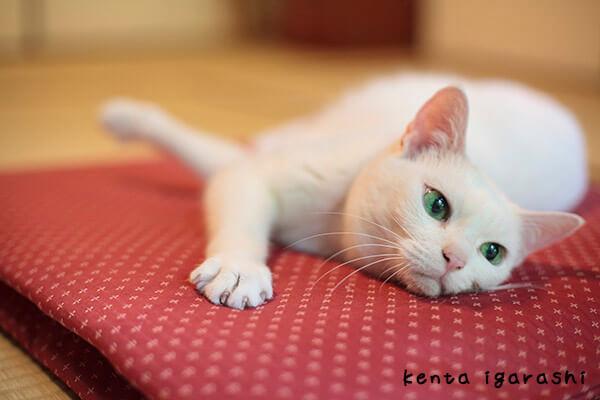 五十嵐健太さんの写真作品、もふあつめの猫2