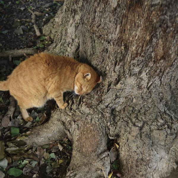 南幅俊輔さんの写真作品、木の根元に頭を擦り付ける茶トラ