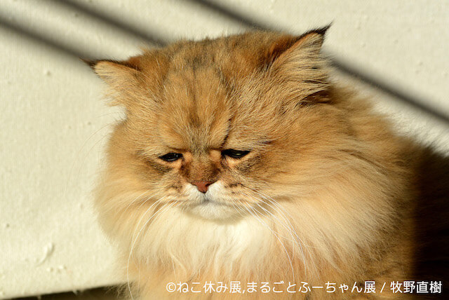 しょんぼり顔で人気のペルシャ猫、ふーちゃん