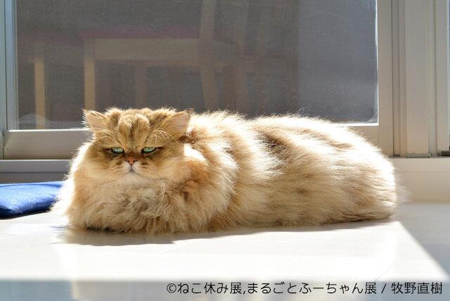 モフモフ猫のふーちゃん