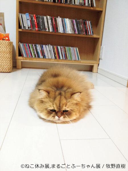 床でうずくまるモフモフ猫、ふーちゃんの写真