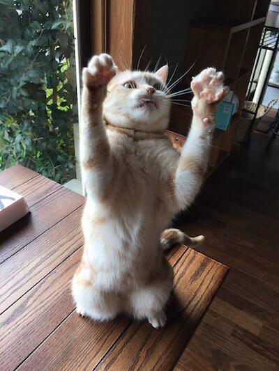 湯布院の猫カフェ「笑ねこカフェ」にいる猫、アメショの幸ちゃん