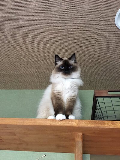 湯布院の猫カフェ「笑ねこカフェ」にいる猫、ラグドールのゆふちゃん