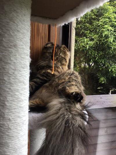 湯布院の猫カフェ「笑ねこカフェ」にいる猫、マンチカンの笑ちゃん