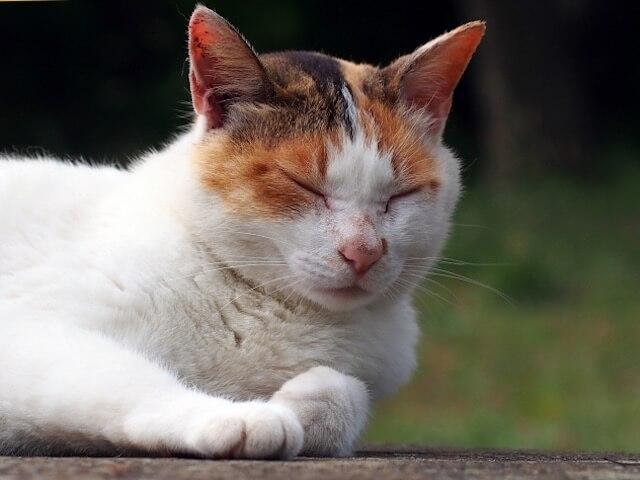 気持ちよさそうに眠る野良猫の三毛猫