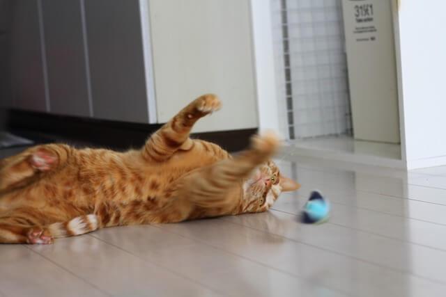 リンコロテトラにパンチする猫