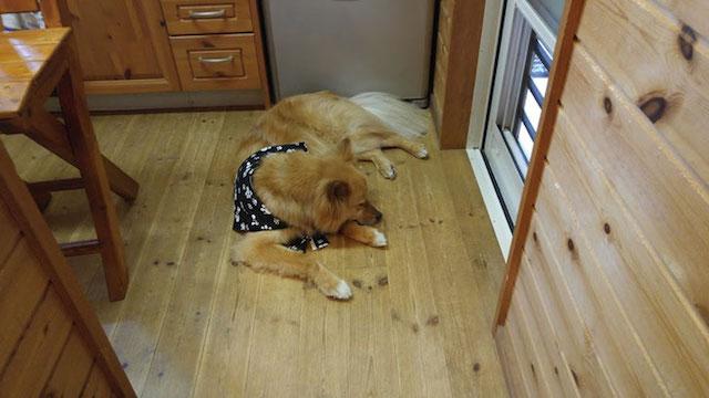 犬猫カフェ「ほごっこCAFE」の看板犬