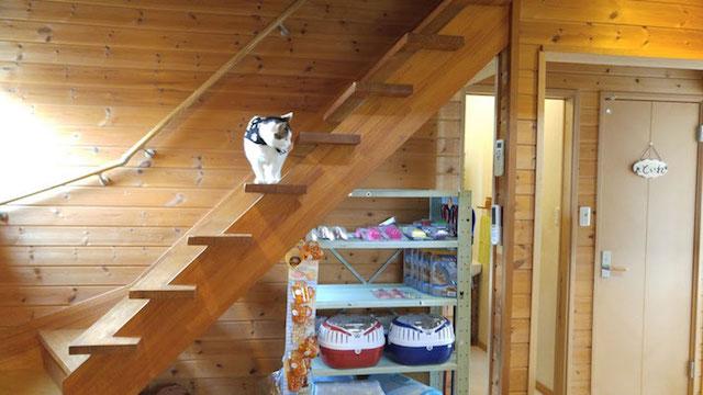 犬猫カフェ「ほごっこCAFE」の看板猫