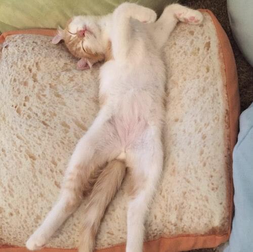 食パンクッションで眠る猫