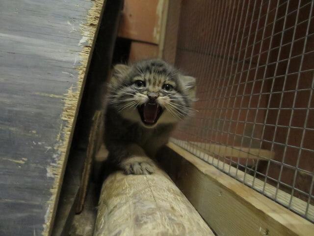 威嚇するマヌルネコの赤ちゃん