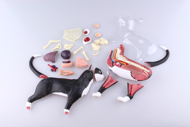細かいパーツに分解できる、猫の4D動物模型