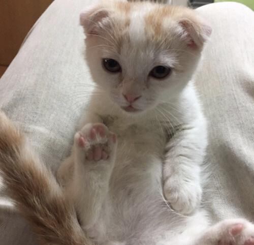 猫カフェ「みーちゃ・みーちょ」にいる、マンチカンのふーじん
