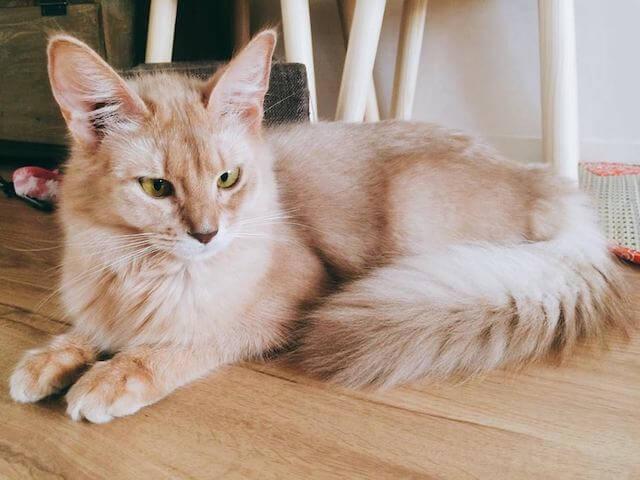 ソマリのマロンちゃん by 猫カフェ「蔵之助のしっぽ」