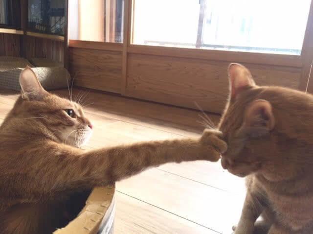 茶トラに猫パンチする茶トラのイメージ写真