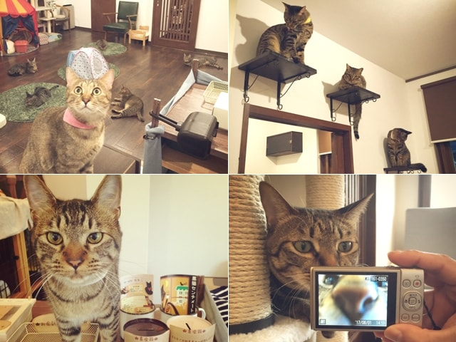 キジ猫好きにはたまらない、キジトラだけの猫カフェ「しましま屋」