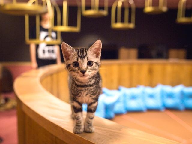 猫カフェMoCHA・名古屋店にいる猫スタッフ