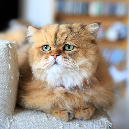 しょんぼり顔のペルシャ猫、ふーちゃん