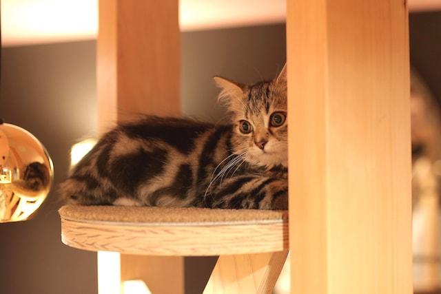 猫カフェMoCHA名古屋店の長毛猫