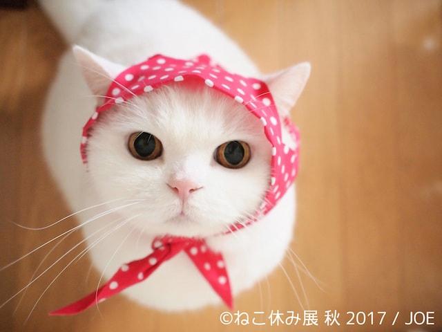 美人白猫の「うらちゃん」