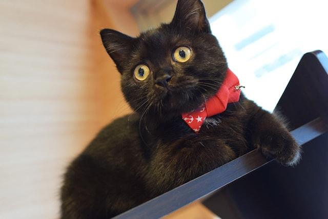 ブラック&ホワイトのミヌエット by 短足ネコ専門「猫カフェもふにゃん」