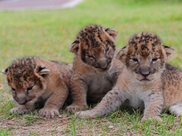 アドベンチャーワールドでライオンの三つ子が誕生!赤ちゃんとの触れ合いイベントを開催