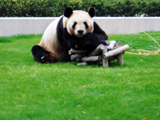 アドベンチャーワールドのジャイアントパンダ