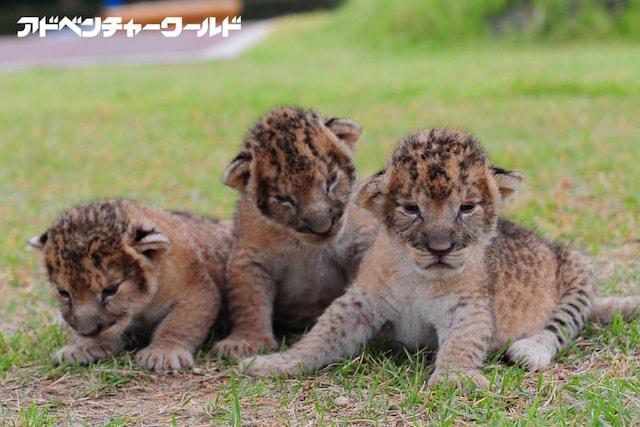 アドベンチャーワールドで誕生した三つ子のライオンの赤ちゃん
