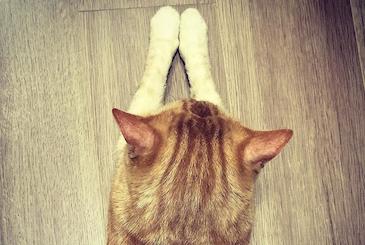 スフィンクス 猫