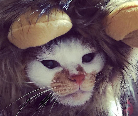 ライオンの帽子を着せられる三毛猫の写真