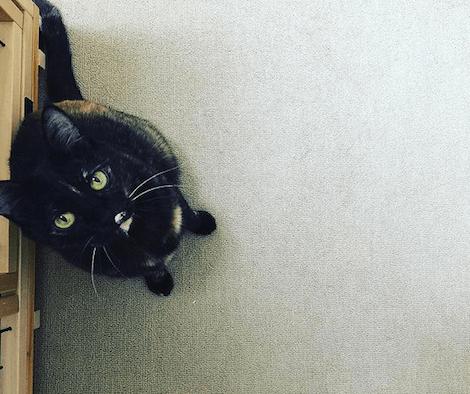 遊んでほしそうに見上げるサビ猫の写真