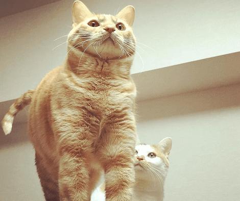 マッチョに見える茶トラ猫の写真