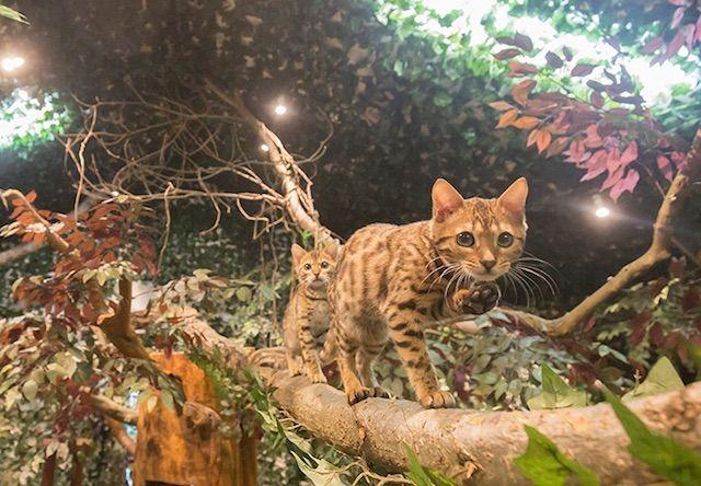 ベンガル猫 KURASHIKIヒョウ猫の森 – 岡山 倉敷市/美観地区の猫カフェ