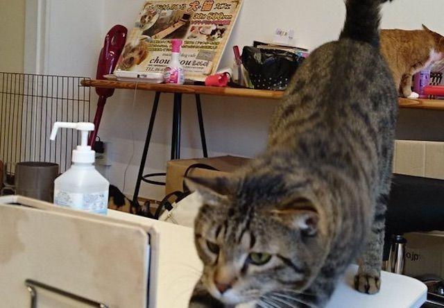 chouchou(しゅしゅ) – 大阪 日本橋の猫カフェ