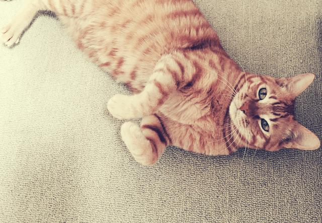寝転びながら猫の手ポーズをとる茶トラの写真