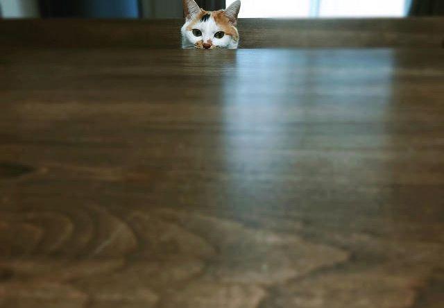 ひょっこり顔を出した三毛猫の写真