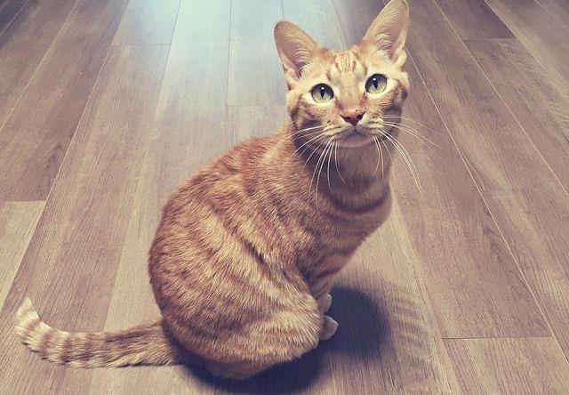 まっすぐ見つめてくる茶トラ猫の写真