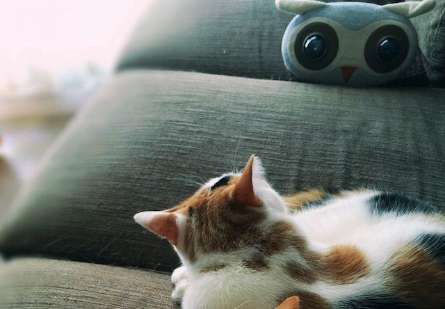 フクロウのぬいぐるみと対峙する猫の写真