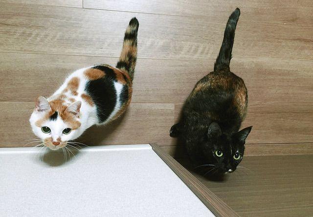 獲物を狙う三毛猫とサビ猫 - 写真素材