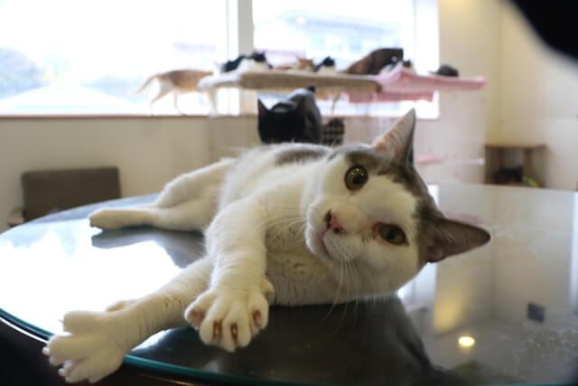 名古屋の猫カフェ「花の木シェルター」にいる猫の写真