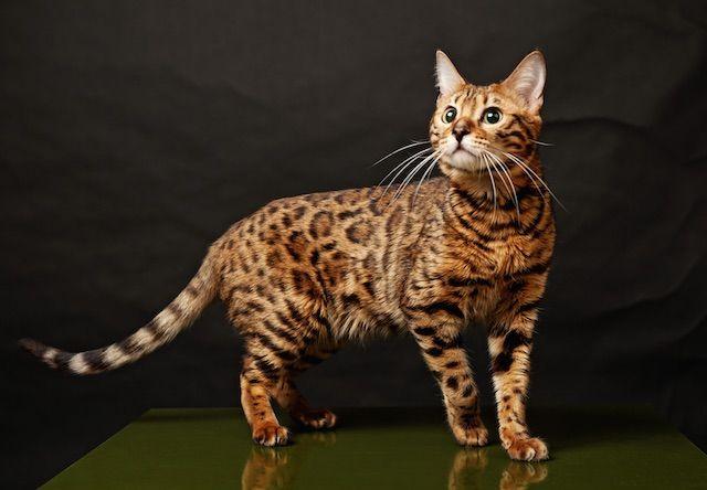 ベンガル(Bengal cat) - 猫の種類&図鑑