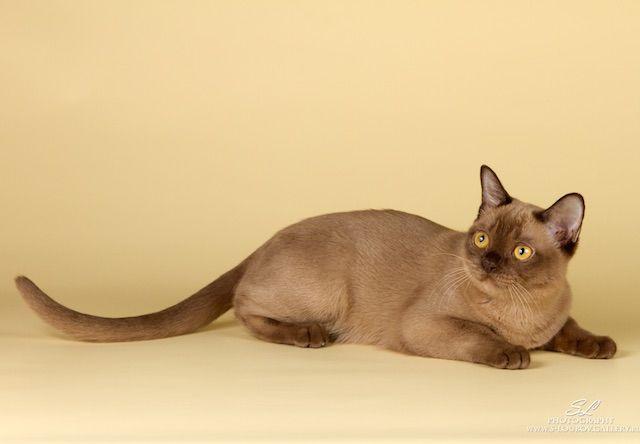 バーミーズ(Burmese) - 猫の種類&図鑑