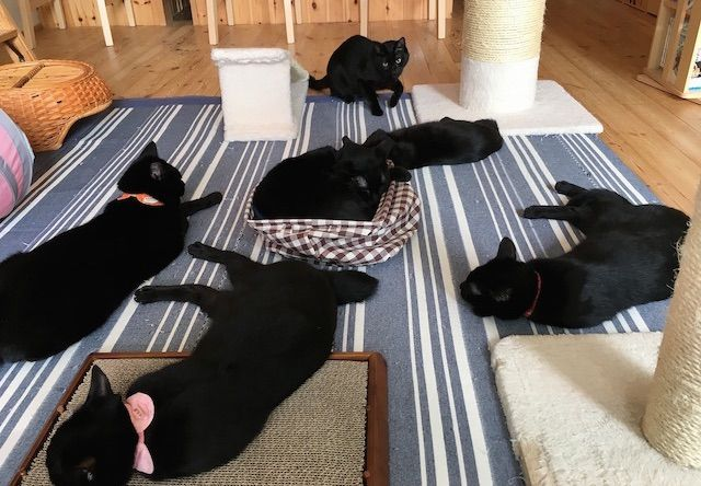 姫路市の黒猫カフェ cat cafe ねこびやか -黒猫cm(センチメートル)