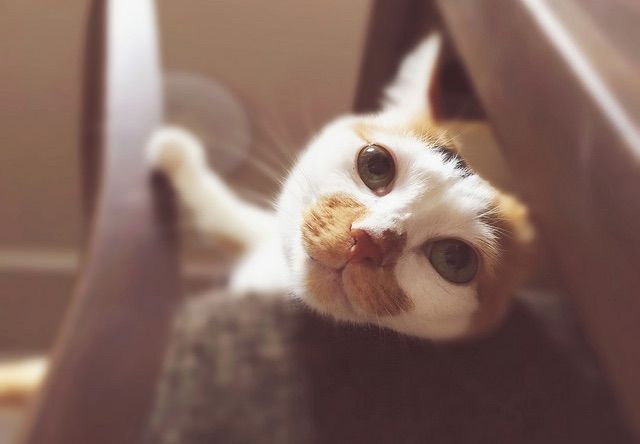 椅子から振り向きざまに見下ろす三毛猫 - 猫の写真素材