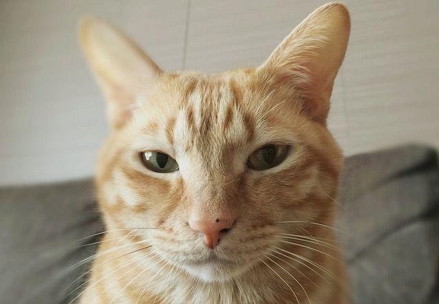 7歳になって貫禄が出てきた茶トラ - 猫の写真素材