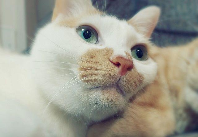 きょとんとした表情の三毛猫 - 猫の写真素材
